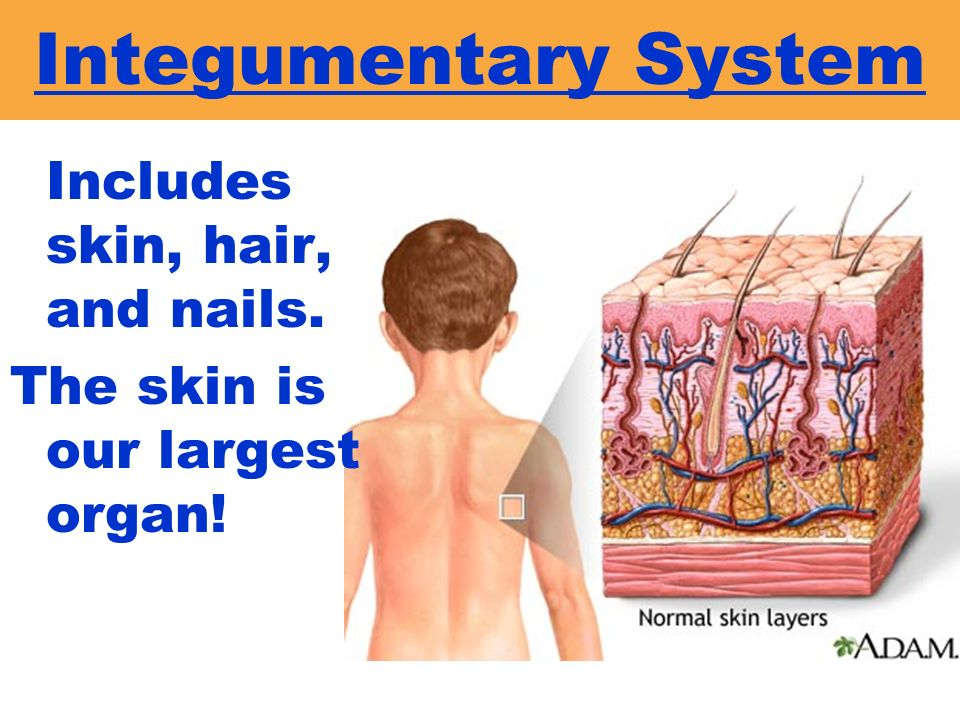 Integumentary System Includes skin, hair, and nails.
