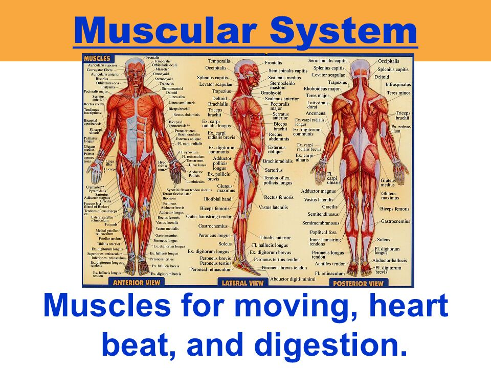 Muscles for moving, heart beat, and digestion.