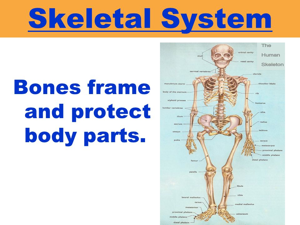 Skeletal System Bones frame and protect body parts.