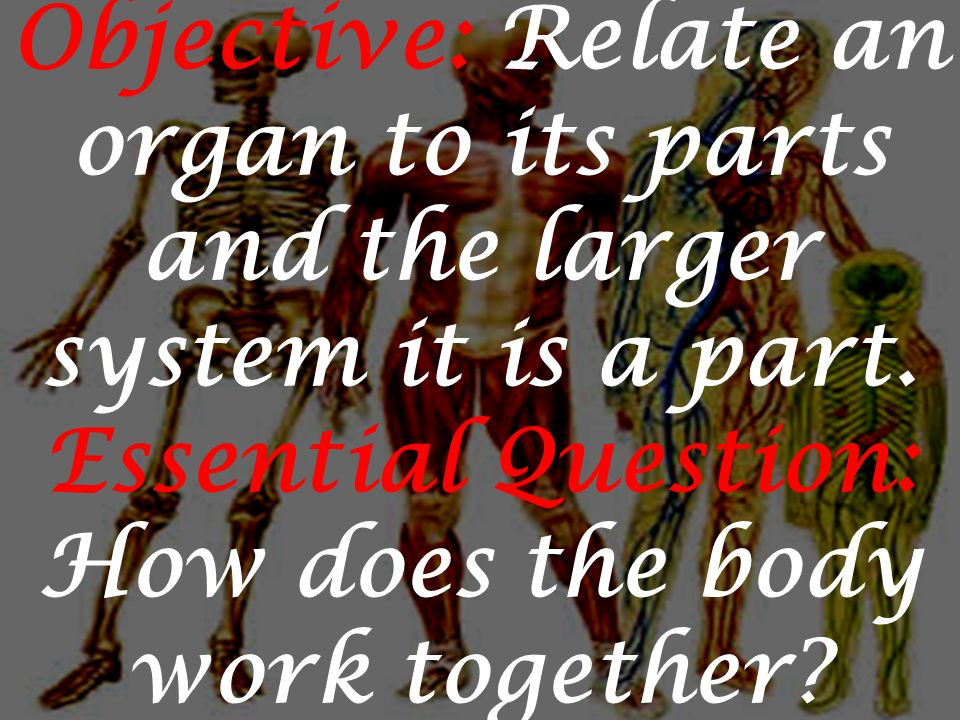 Objective: Relate an organ to its parts and the larger system it is a part.
