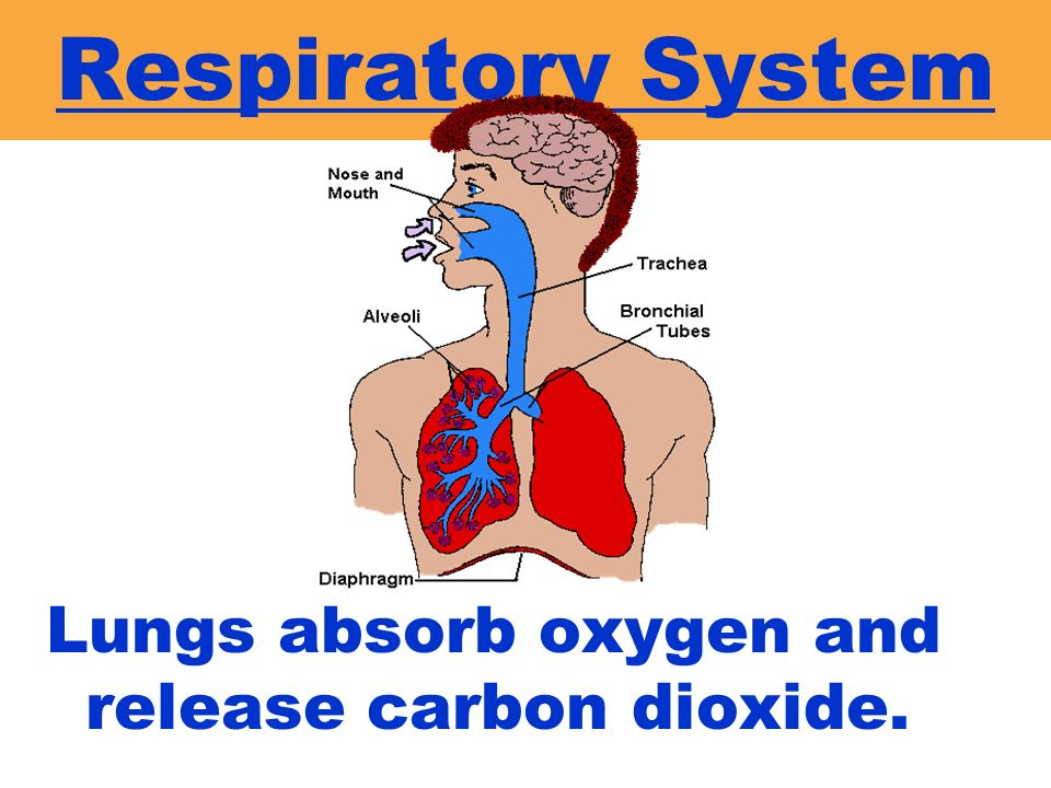 Respiratory System Lungs absorb oxygen and release carbon dioxide.