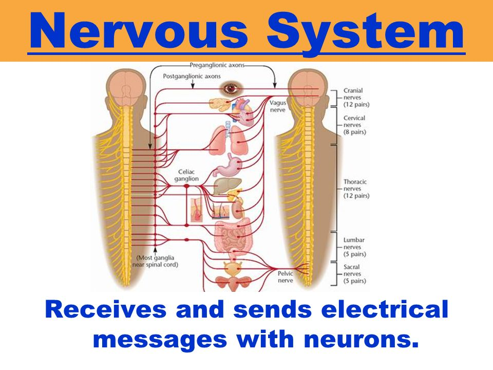 Receives and sends electrical messages with neurons.