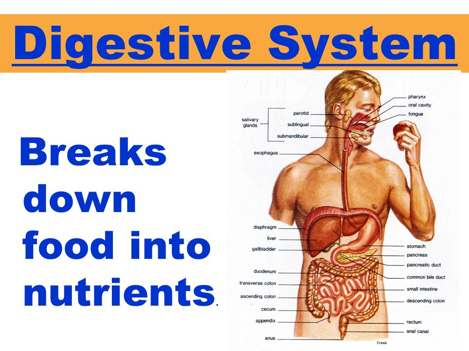 Digestive System Breaks down food into nutrients.