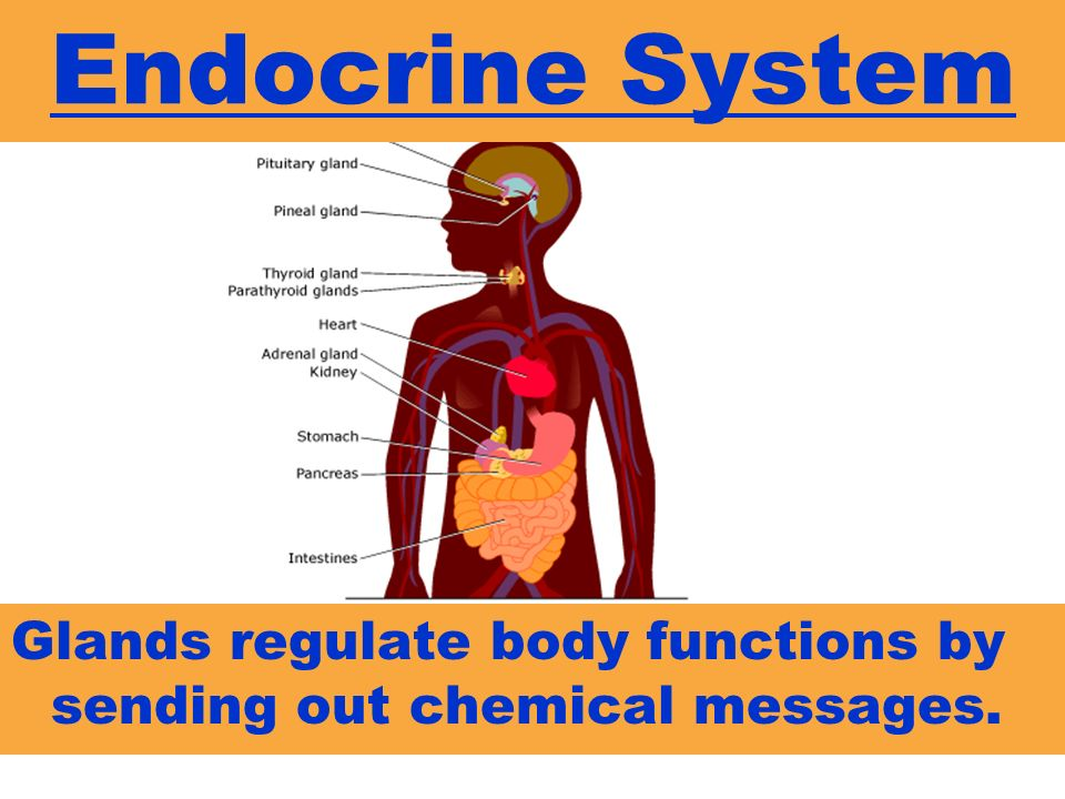 Endocrine System Glands regulate body functions by sending out chemical messages.