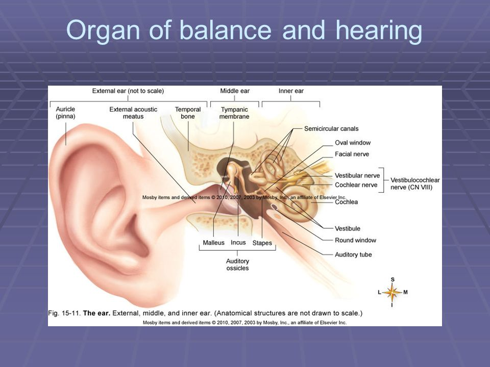 Organ of balance and hearing - ppt video online download