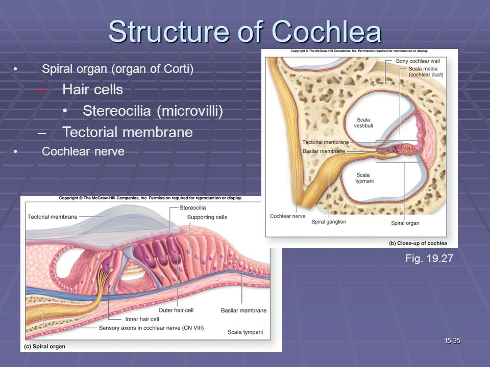 cochlea hair cells diagram organ of balance and hearing - ppt video online download