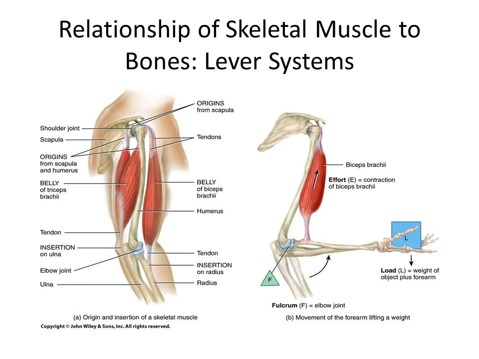 relationship between human body levers and joints