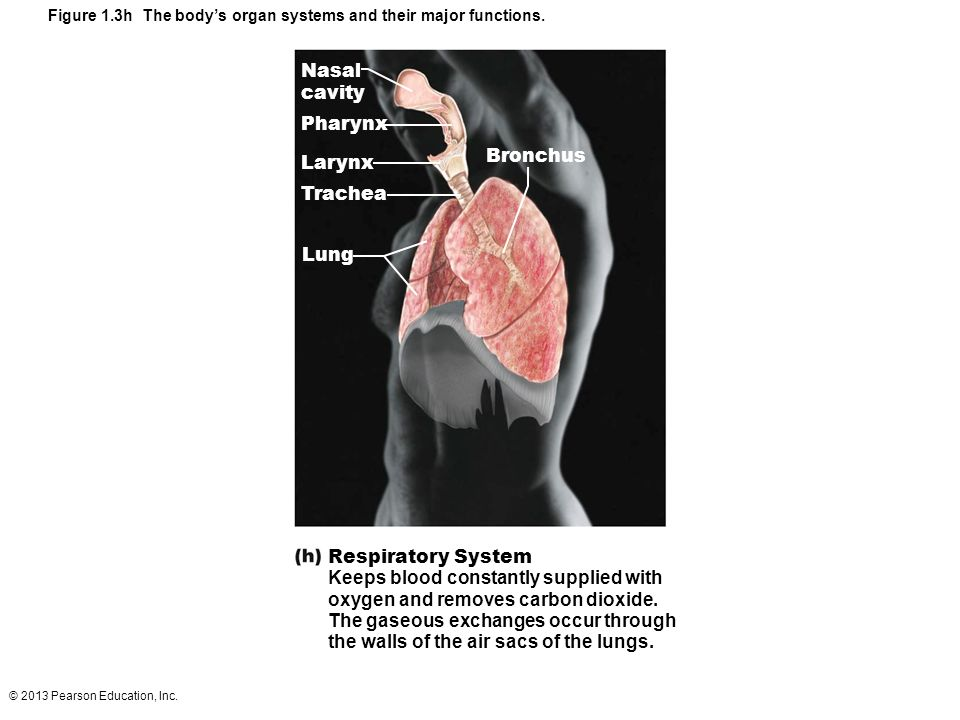 the body s organ systems and their The goal of this series of articles is to give you a broad look at the major organ systems in your body and how they work together to keep you well as you read this series, i encourage you to adopt the mindset of having to learn this material well enough to teach it to a group of junior high school students.