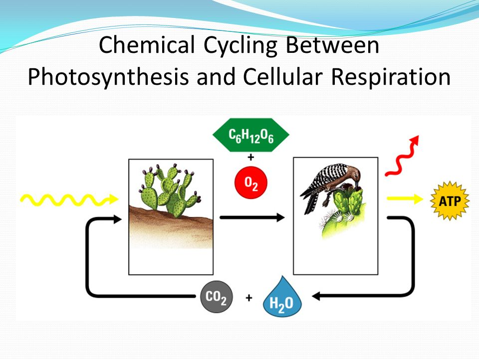Photosynthesis and Respiration - ppt download