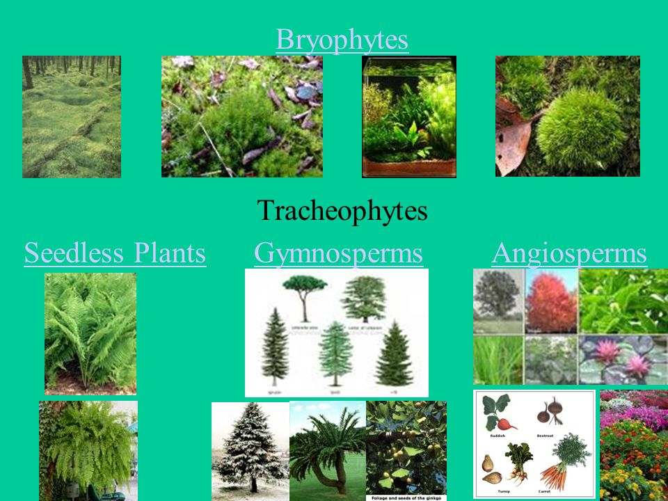 bryophytes are seedless plants without Bryophytes are the group of plants that are the closest extant relative of early terrestrial plants the first bryophytes (liverworts) most likely appeared in the ordovician period, about.