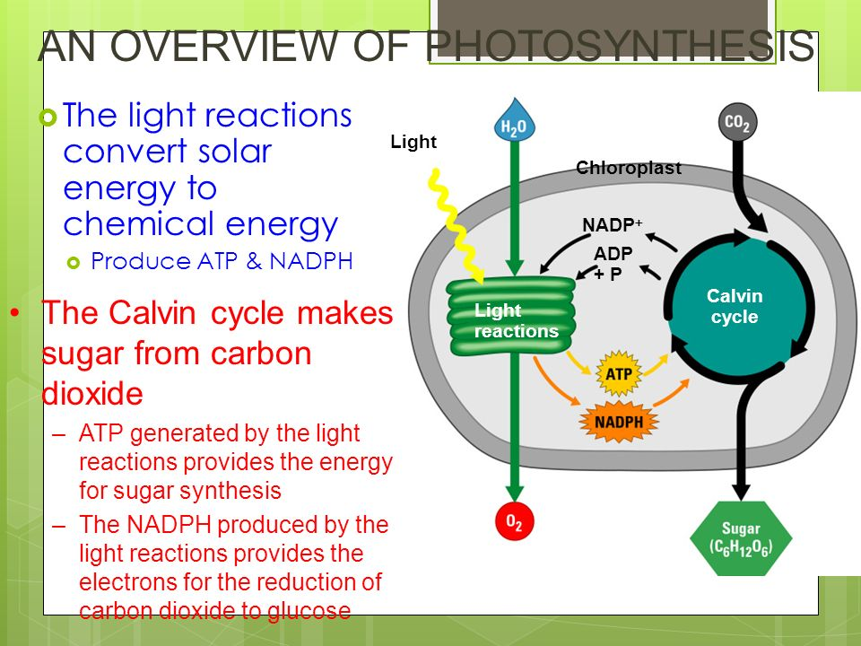 reactions of photosynthesis