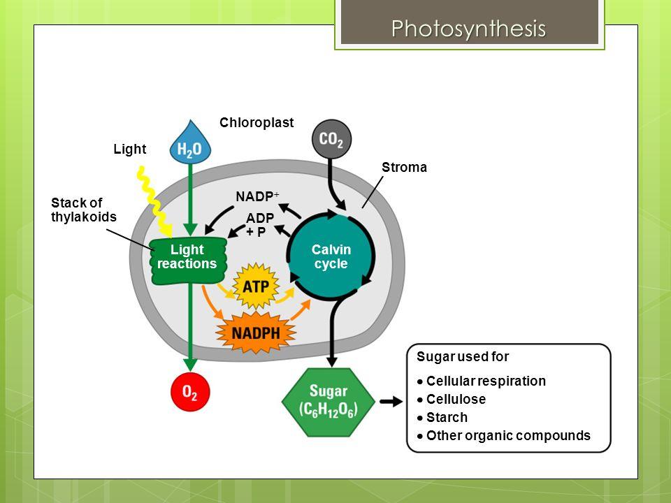 photosythesis cycle