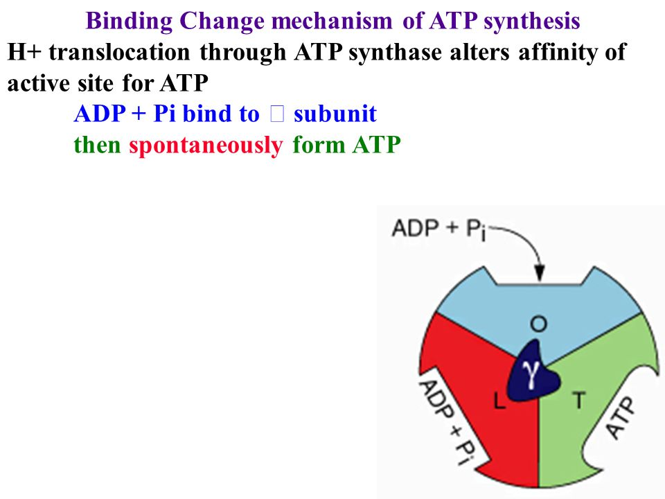preparation of atp You could synthesize it - but for in vitro use it's generally extracted from bacteria in fact, a method for synthesis of atp by an artificiallyimposed electrochemical.