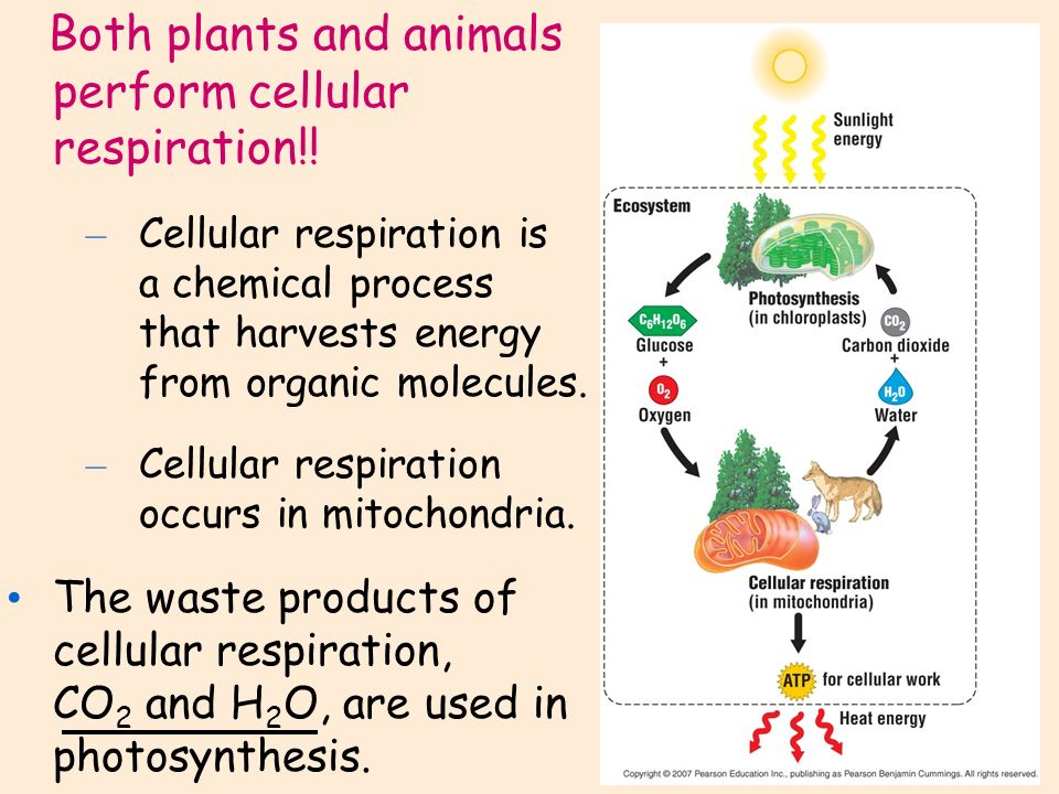 respiration in plants and animals Biology module - 2 forms and function of plants and animals 256 notes respiration in plants 121 respiration respiration is the stepwise oxidation of complex organic.