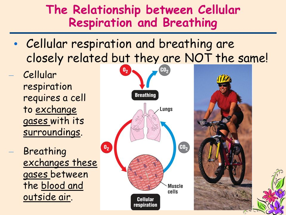 explain the relationship of breathing and cellular respiration