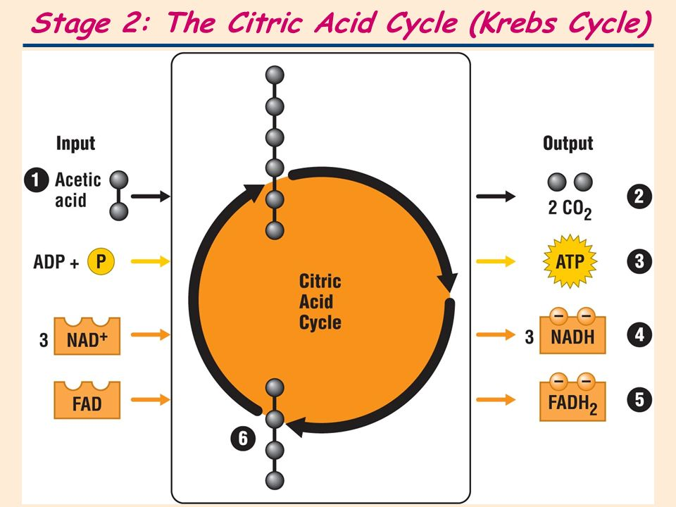 citric acid cycle and photosynthesis Citric acid cycle - krebs cycle - tricarboxylic acid cycle | see more ideas about citric acid cycle, biochemistry and bicycles.