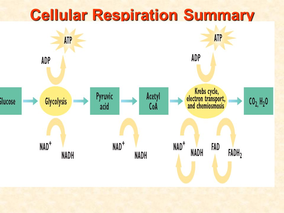 analysis and conclusion for cellular respiration Since cellular respiration is taking place at the same time in the leaf,  purpose/conclusion observation analysis /1 [c] /2 [t/i]  floating leaf disk assay.