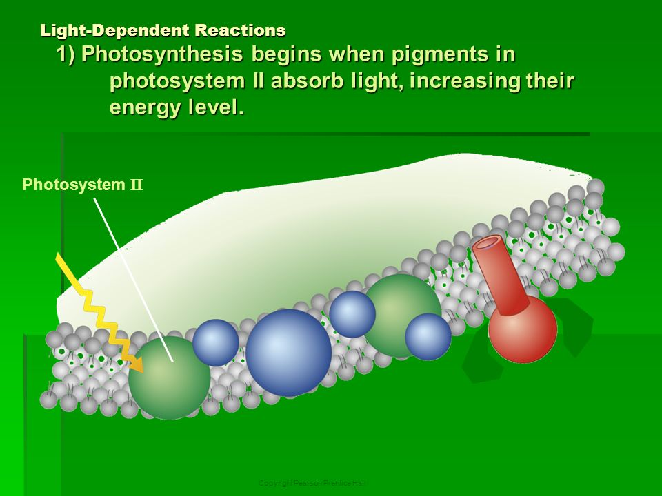 the light dependent reactions of photosynthesis essay The light-dependent reactions use light energy to make two molecules needed for the next stage of photosynthesis: the light-dependent reactions of photosynthesis.