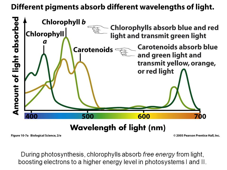 an overview of photosynthesis the nature of light Overview of photosynthesis: cooperation of the the nature of sunlight light is a form of electromagnetic energy, also called electromagnetic radiation.