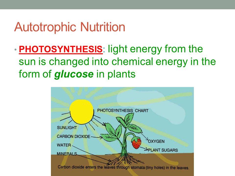 autotrophic nutrition in plants Photosynthesis is the most common type of autotrophic nutrition process see autotrophic nutrition | a2-level-level-revision, biology, energy-life, autotrophic.