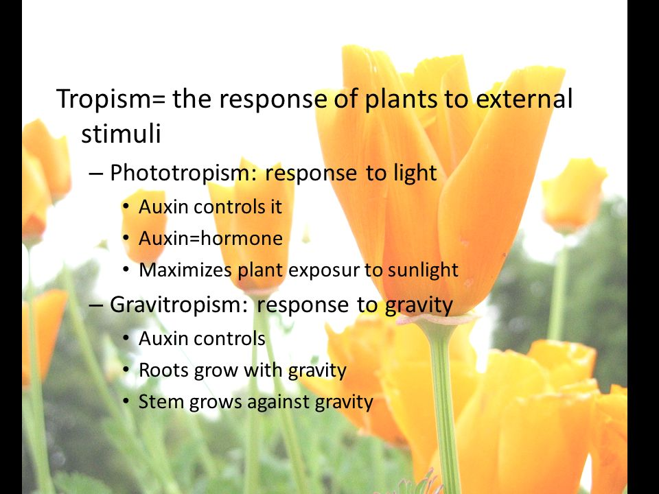25-2 Plant Responses Tropism= the response of plants to external stimuli. Phototropism: response to light.