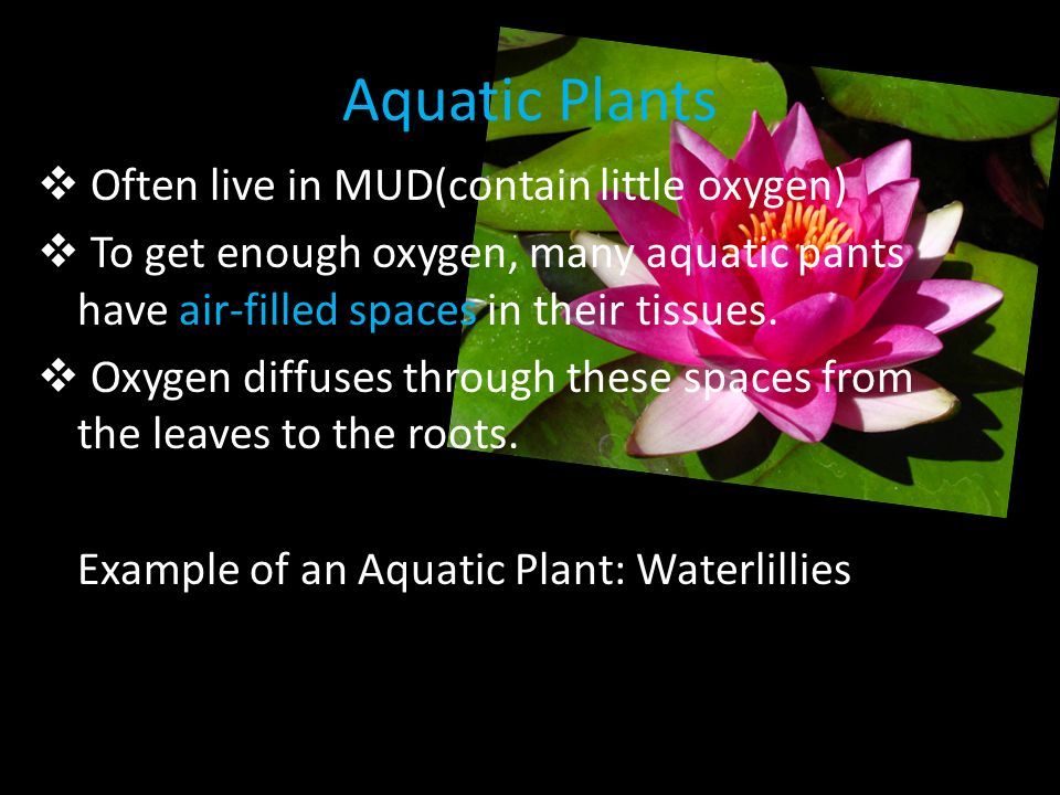 Aquatic Plants Often live in MUD(contain little oxygen)