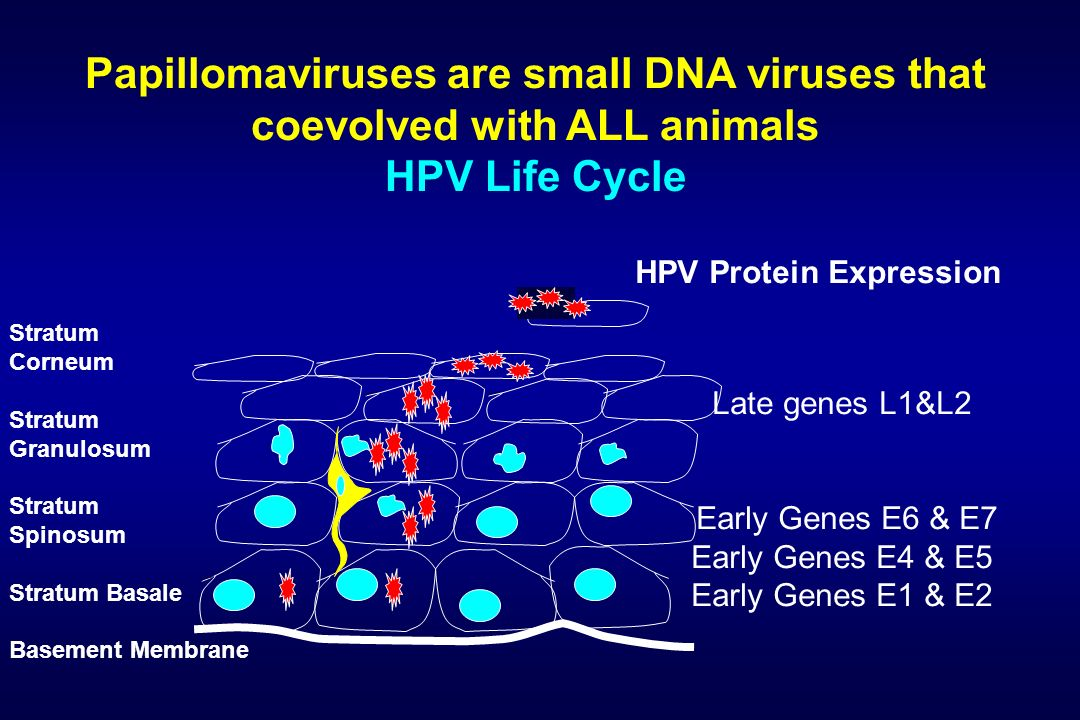 Papillomaviruses are small DNA viruses that coevolved with ALL animals