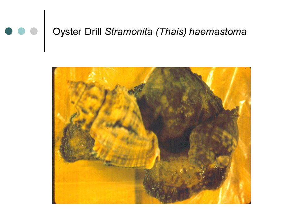 Oyster Drill Stramonita (Thais) haemastoma
