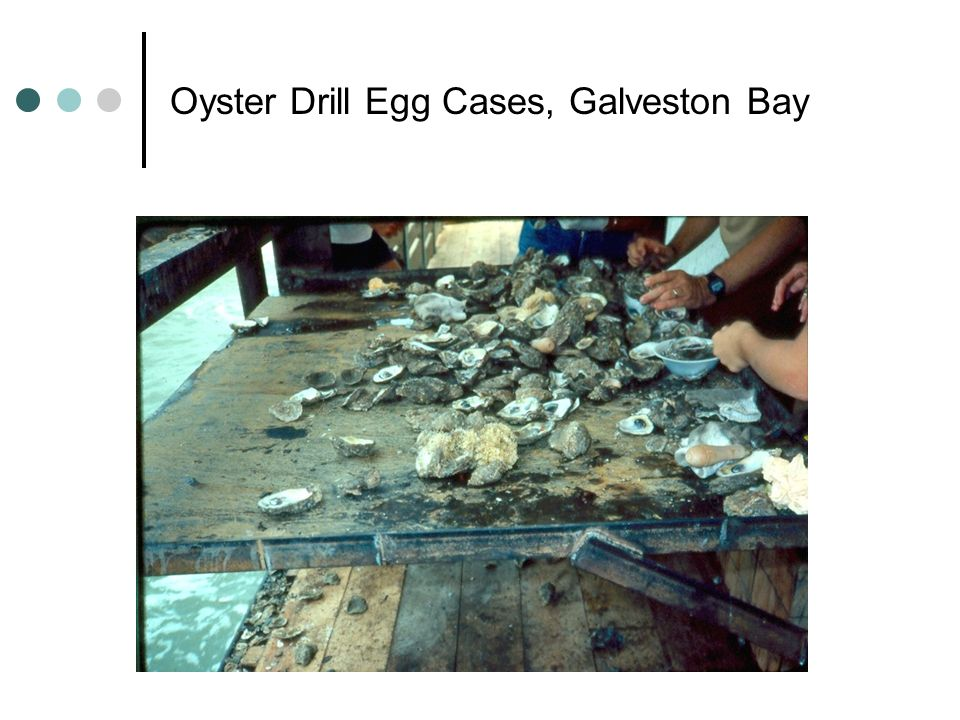 Oyster Drill Egg Cases, Galveston Bay