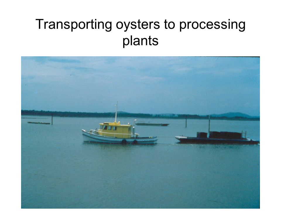 Transporting oysters to processing plants