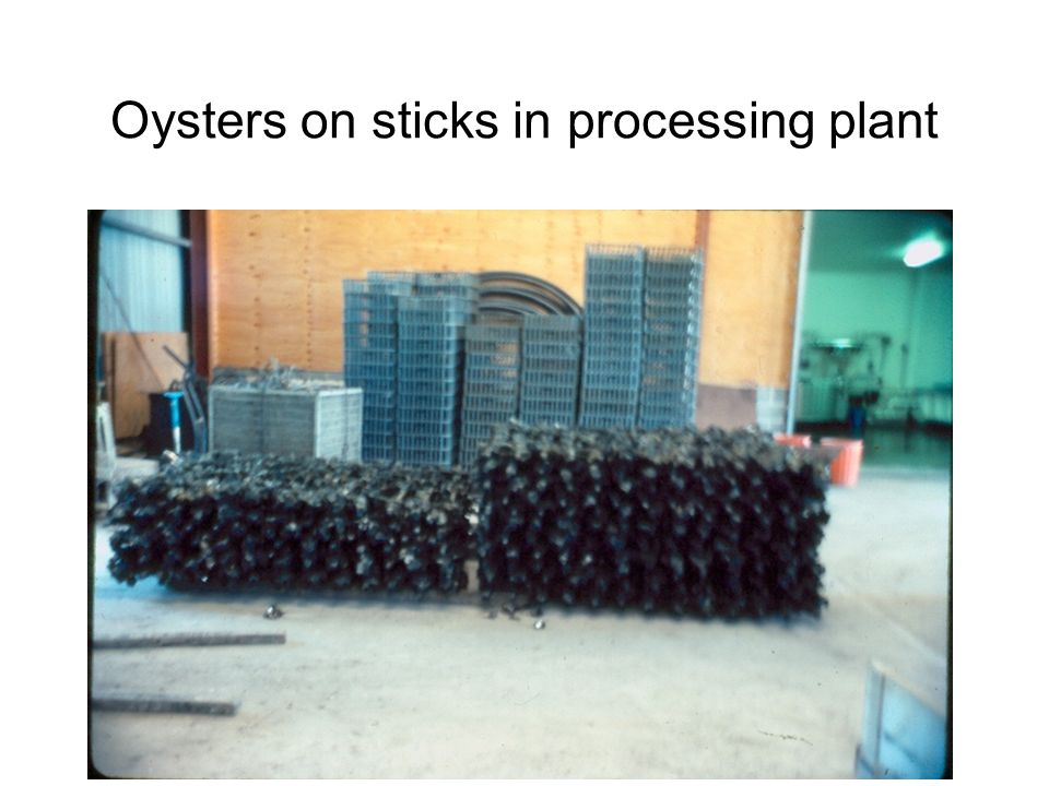 Oysters on sticks in processing plant