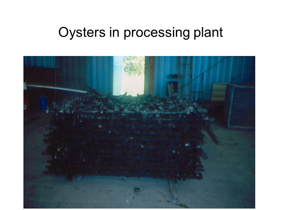 Oysters in processing plant