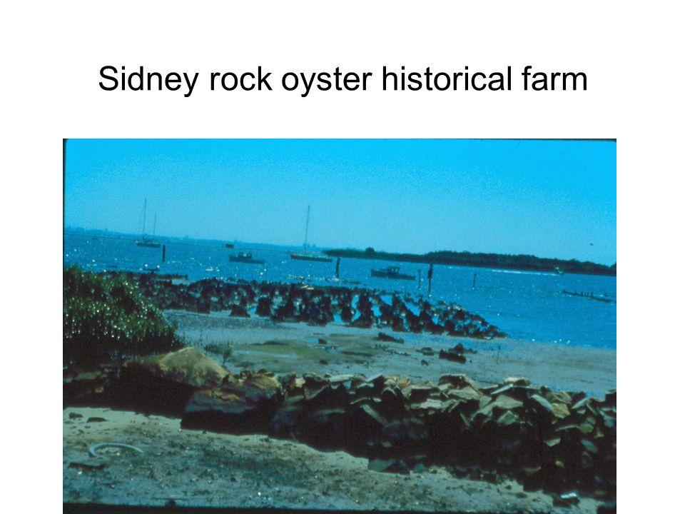 Sidney rock oyster historical farm