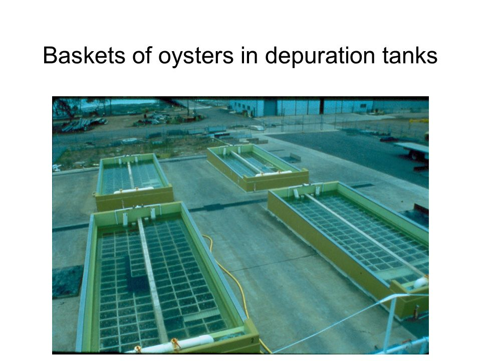 Baskets of oysters in depuration tanks