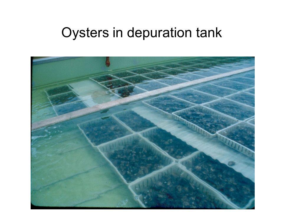 Oysters in depuration tank