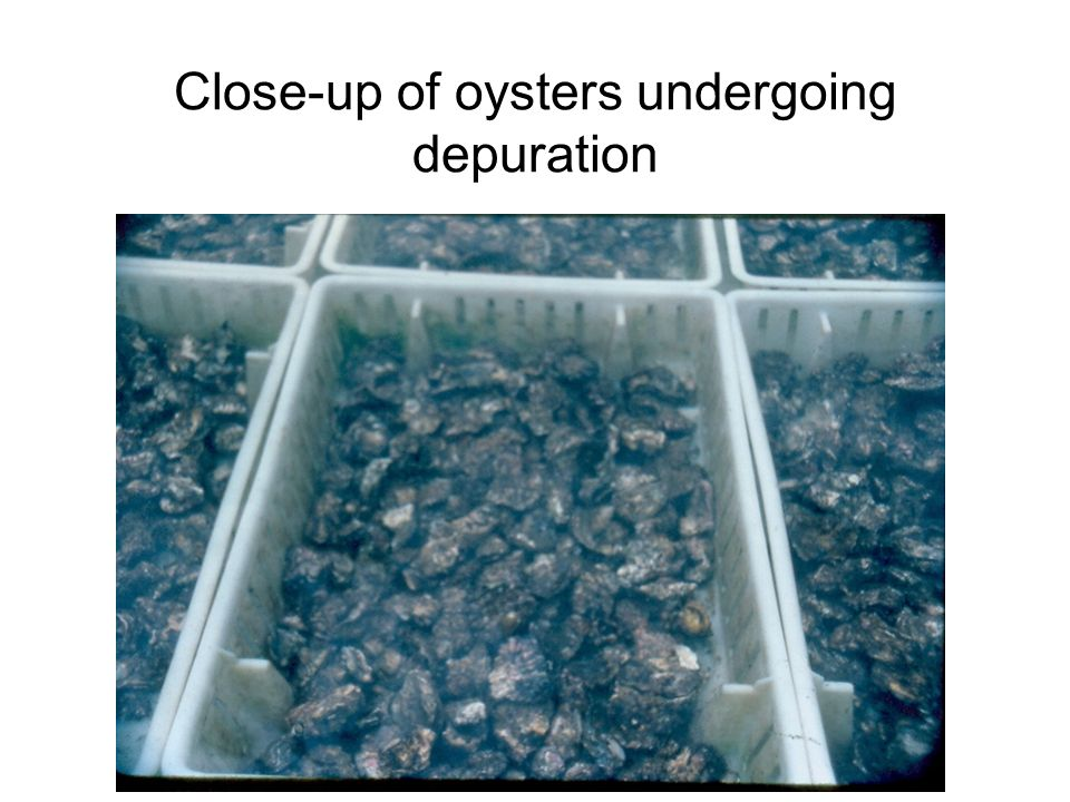 Close-up of oysters undergoing depuration