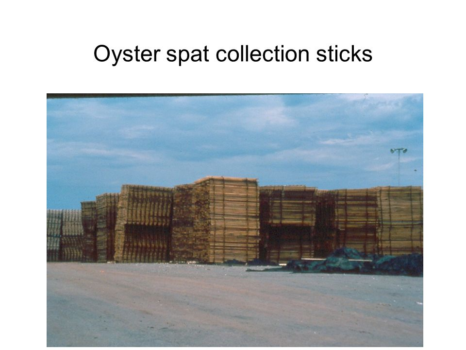 Oyster spat collection sticks