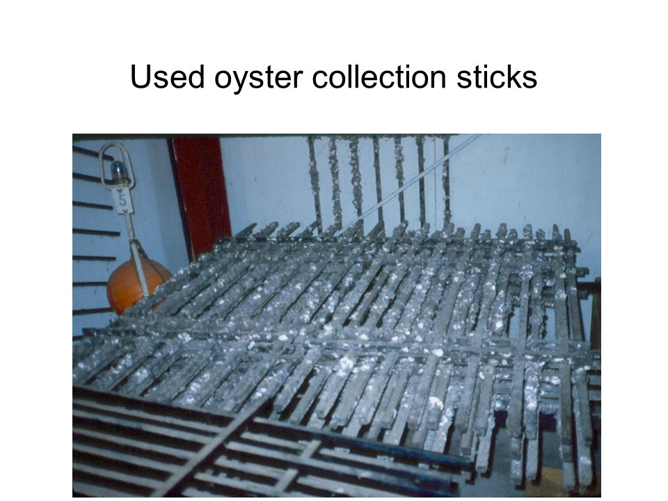 Used oyster collection sticks