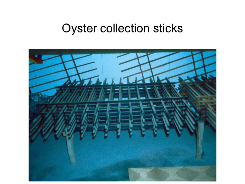 Oyster collection sticks