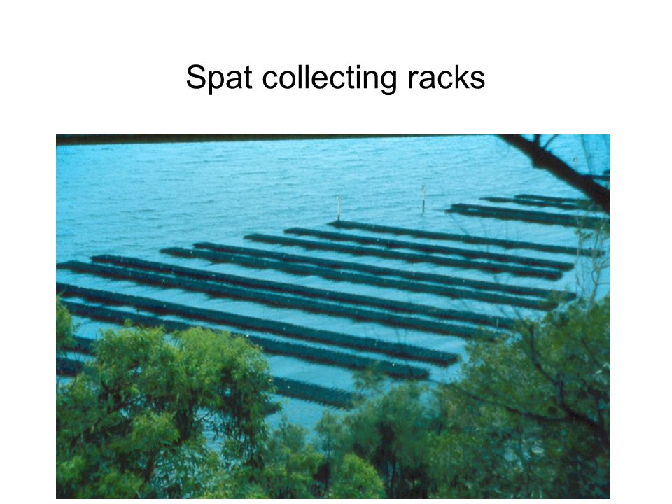 Spat collecting racks