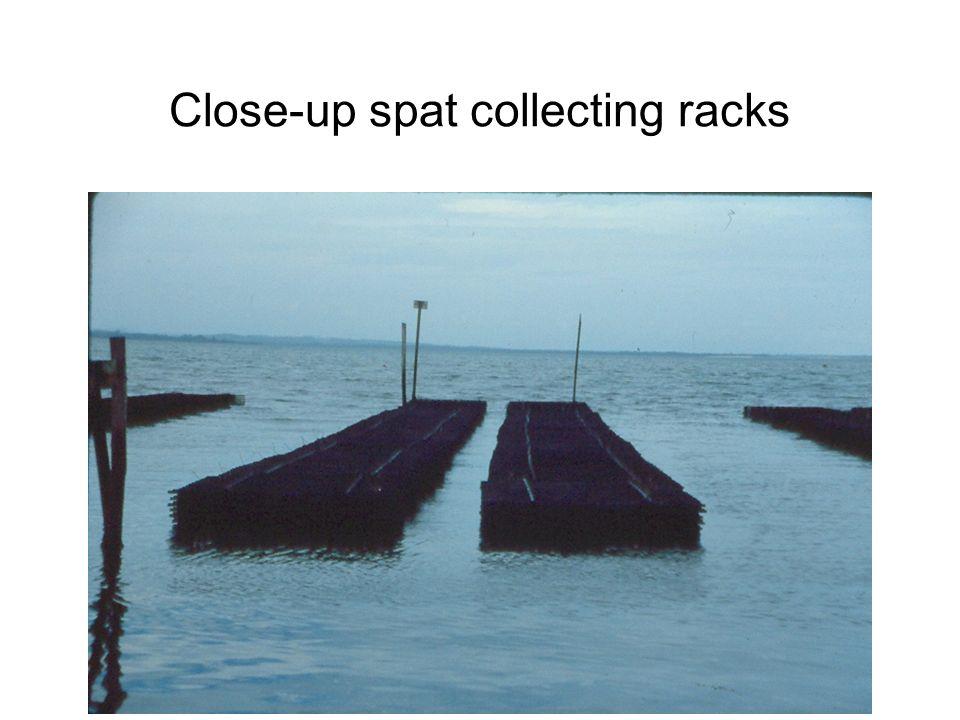 Close-up spat collecting racks