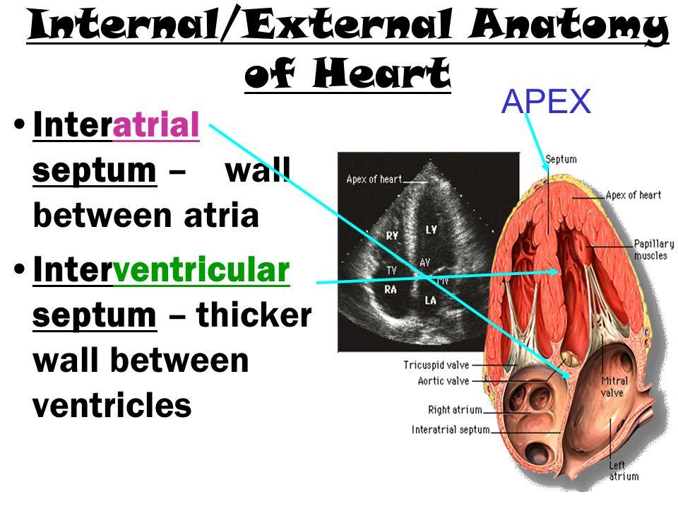 Internal Fexternal Anatomy Of Heart