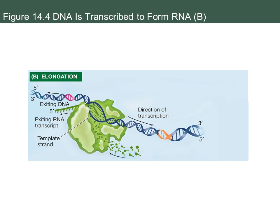 when an rna strand forms using dna as a template - from dna to protein gene expression ppt download