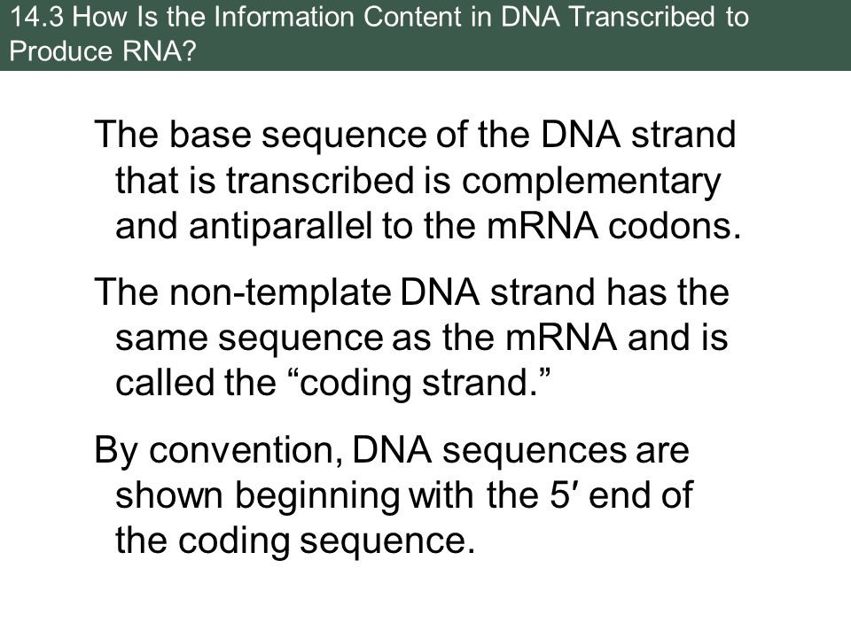 difference between template and coding strand - from dna to protein gene expression ppt download