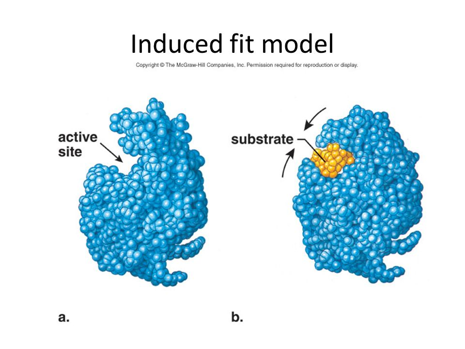 Induced fit model