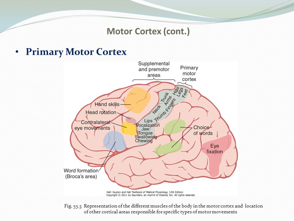 Chapter 55 cortical and brain stem control of motor function 4 motor ccuart Gallery