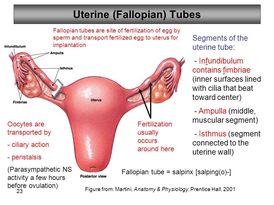 Define Fallopian Tubes Gallery - human anatomy organs diagram