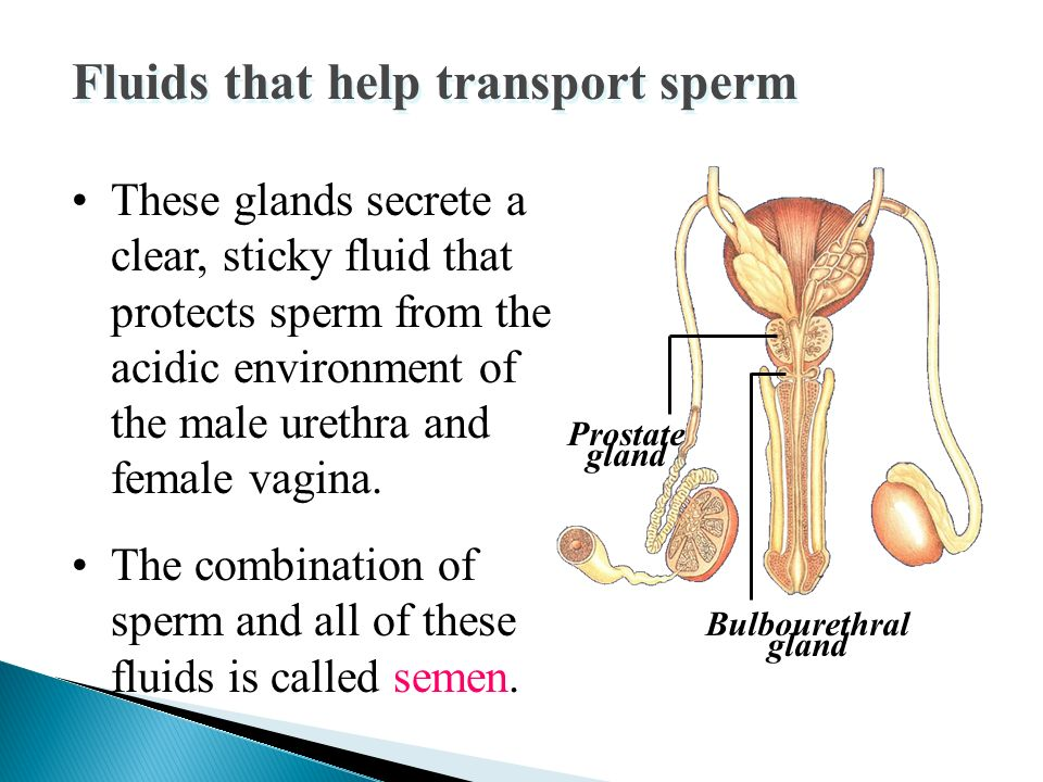 Makes fluid that protects the sperm