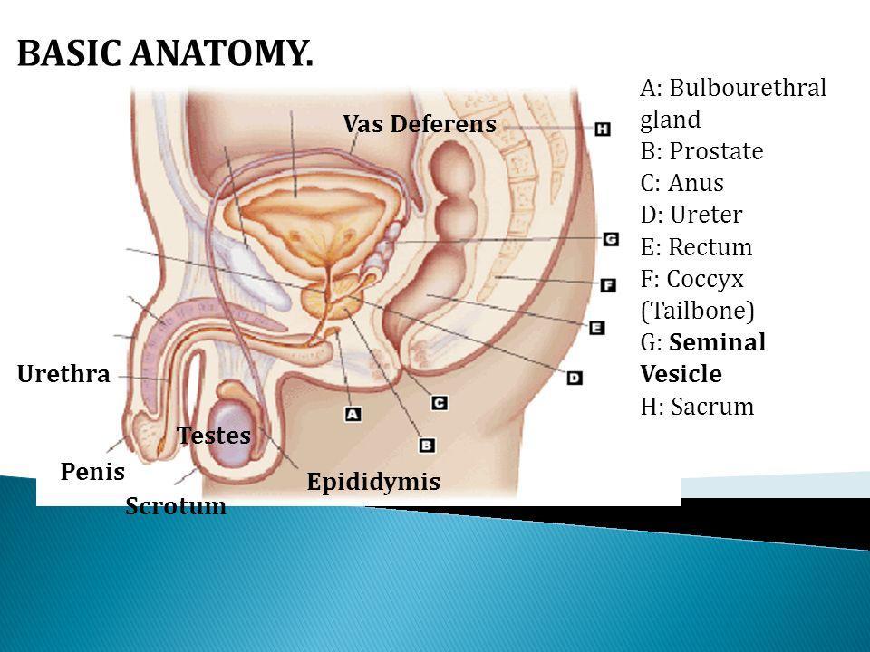 Urethra anatomy male