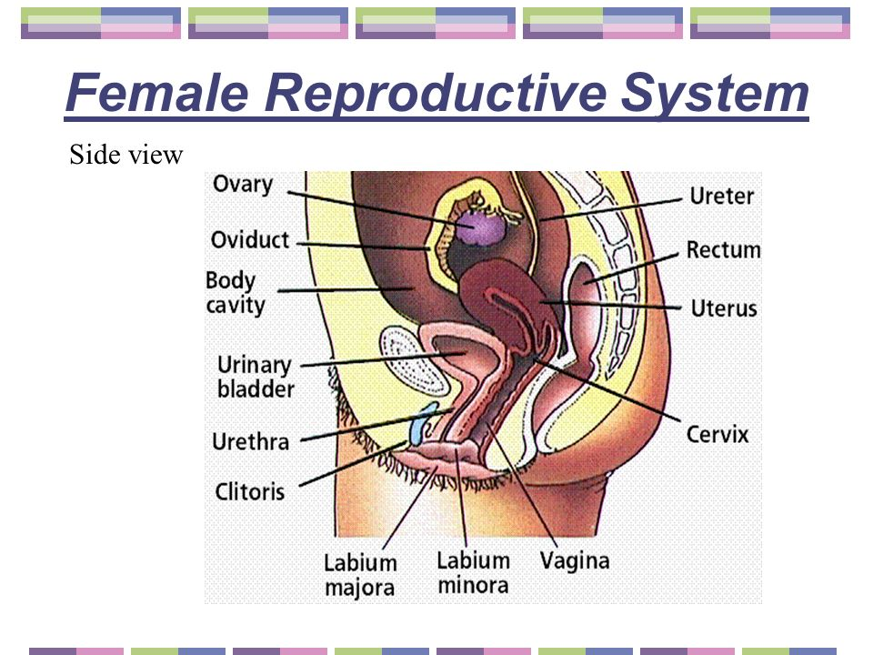 Female reproductive system side view